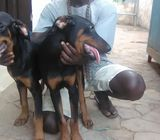 Pure breed Doberman Puppies