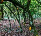 Cocoa Farm or Plantation for Sale