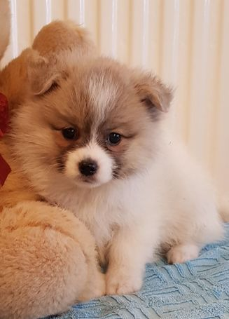 Pomsky puppies ready for new homes
