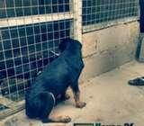 4 months Old Rottweiler